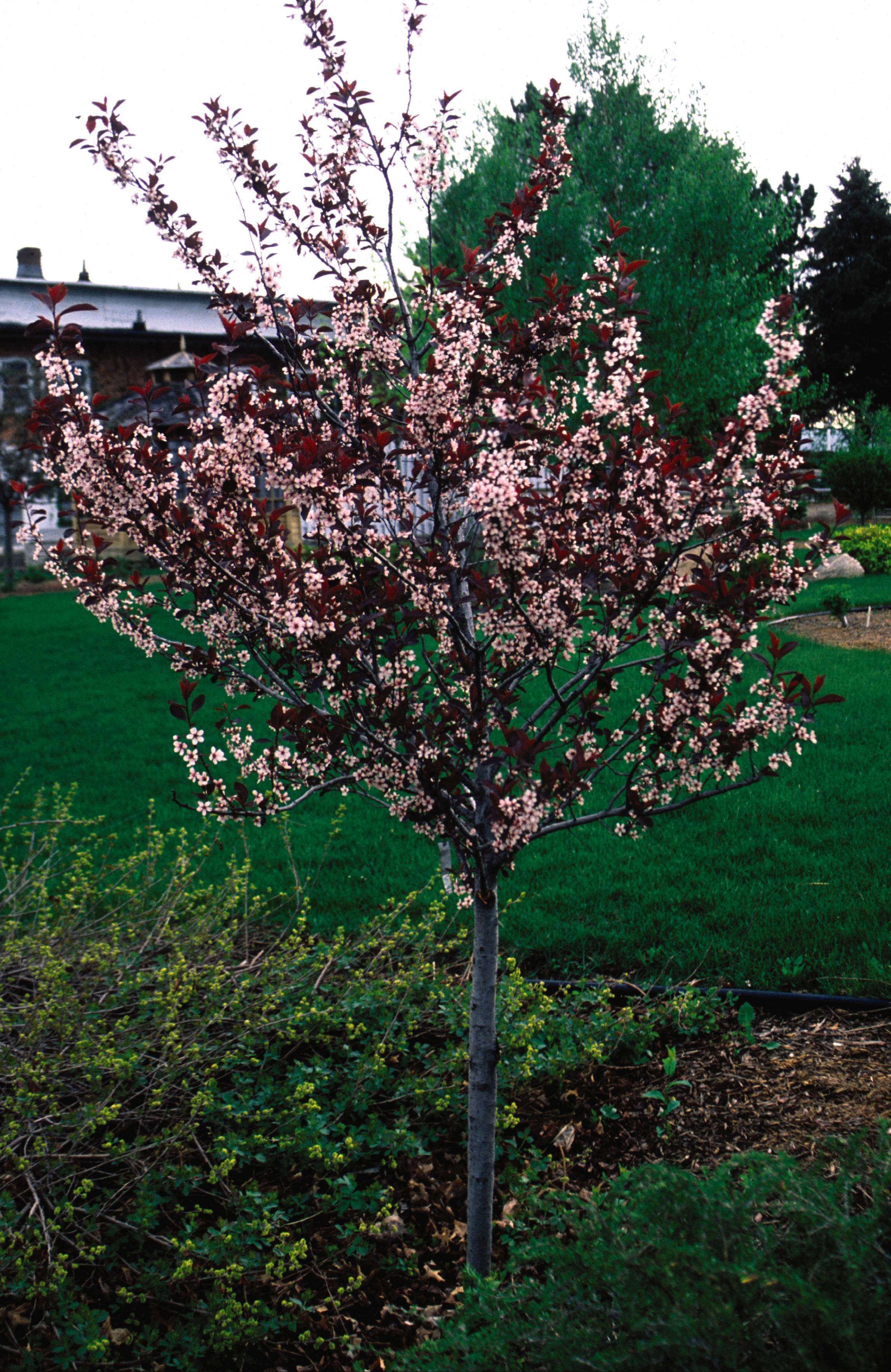 0324-1_PrunusvirgCanadaRedCherrytree.jpg.jpg