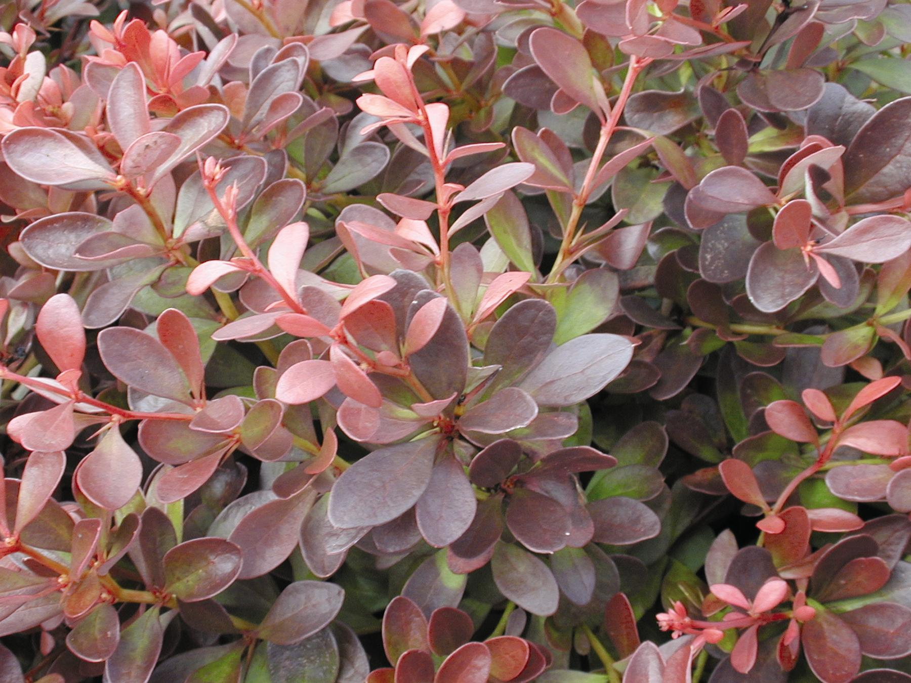 0443-1_BerbthunCrimsonPygmyJapaneseBarberry_CC.jpg.jpg