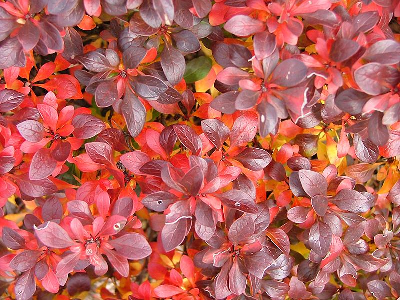 BarneyBarberry(Berberis thunbergii 'Miruzam')D078-14.jpg