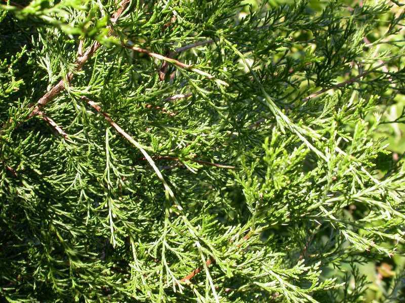 Eastern Red Cedar (Juniperus virginiana).jpg