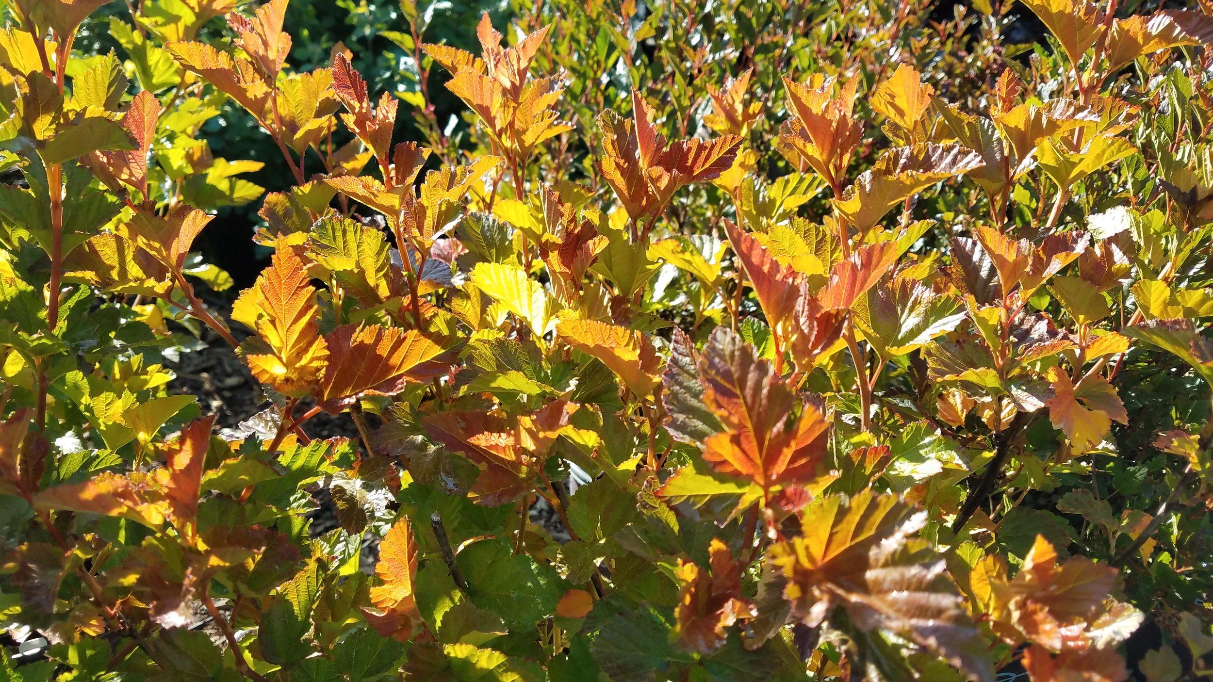 Amber Jubilee Ninebark (Physocarpus) (3).jpg
