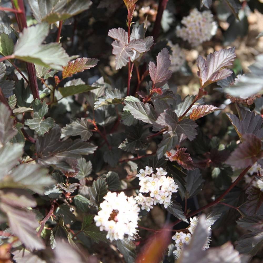 Physocarpus opulifolius Diablo (Diablo Ninebark).jpg