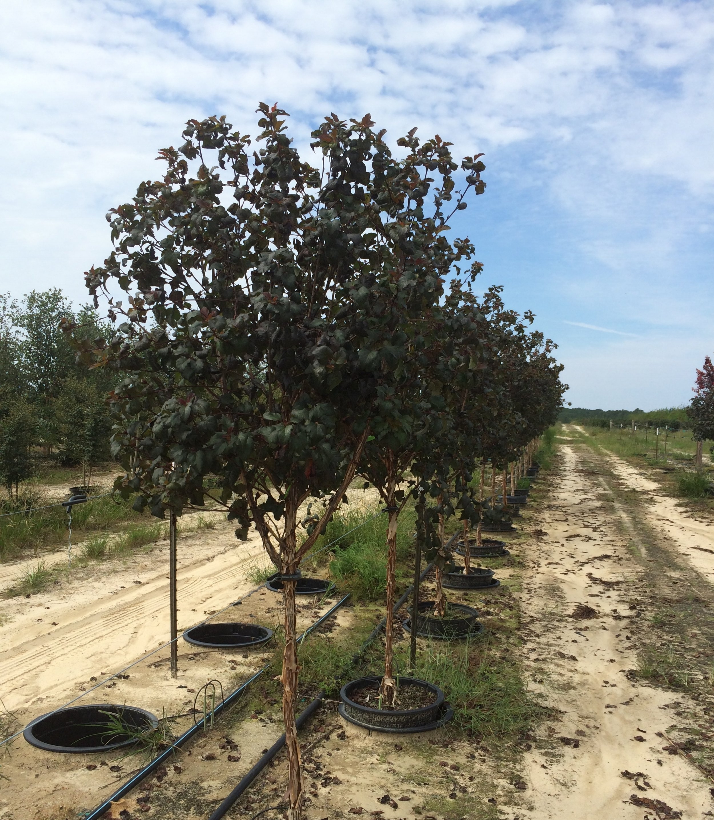 ninebark-diablo-tree-form-g-physocarpus-opulifolius-diablo.jpg