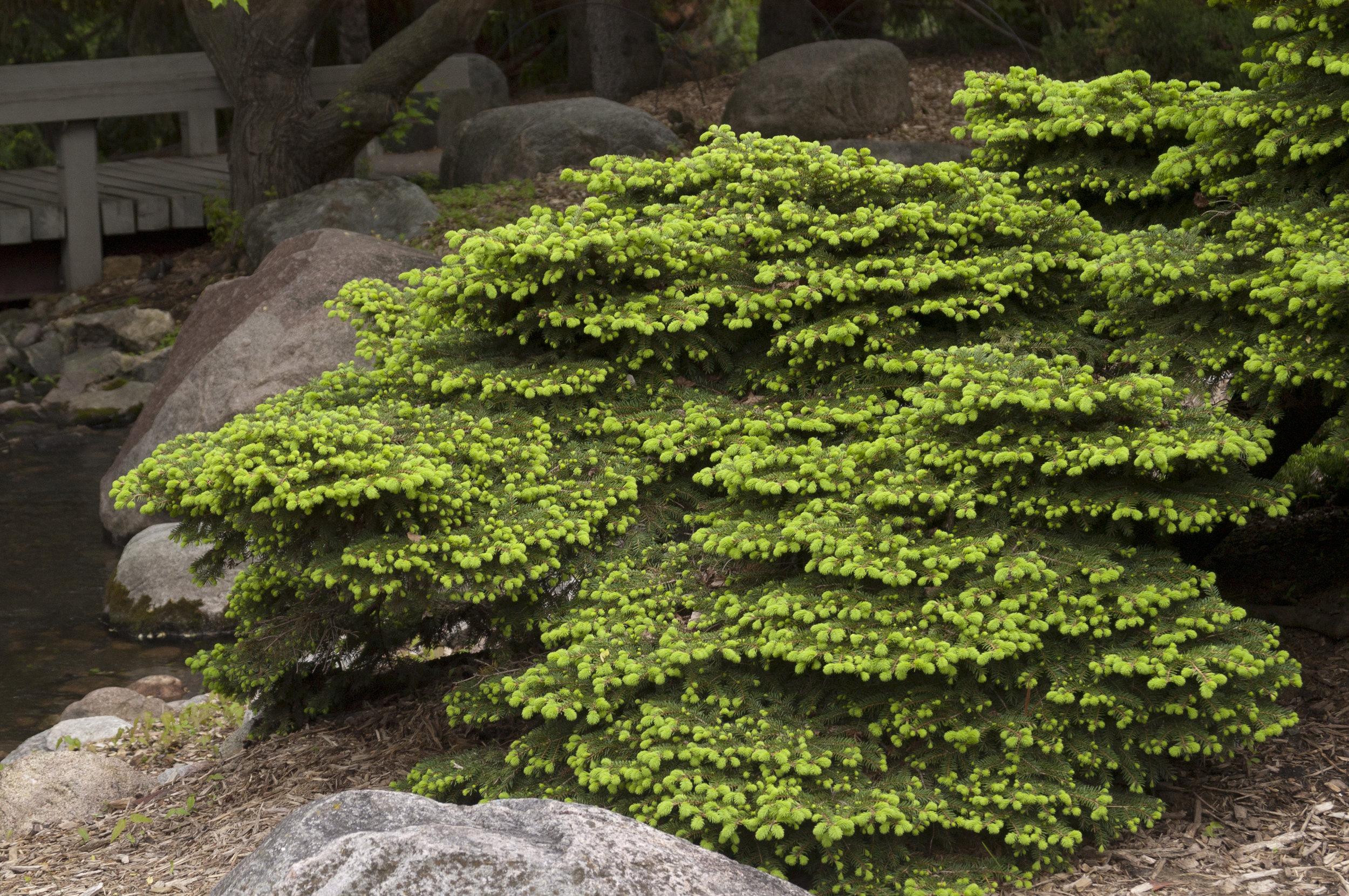 Evergreen_Spruce-Birds-Nest-3.jpg