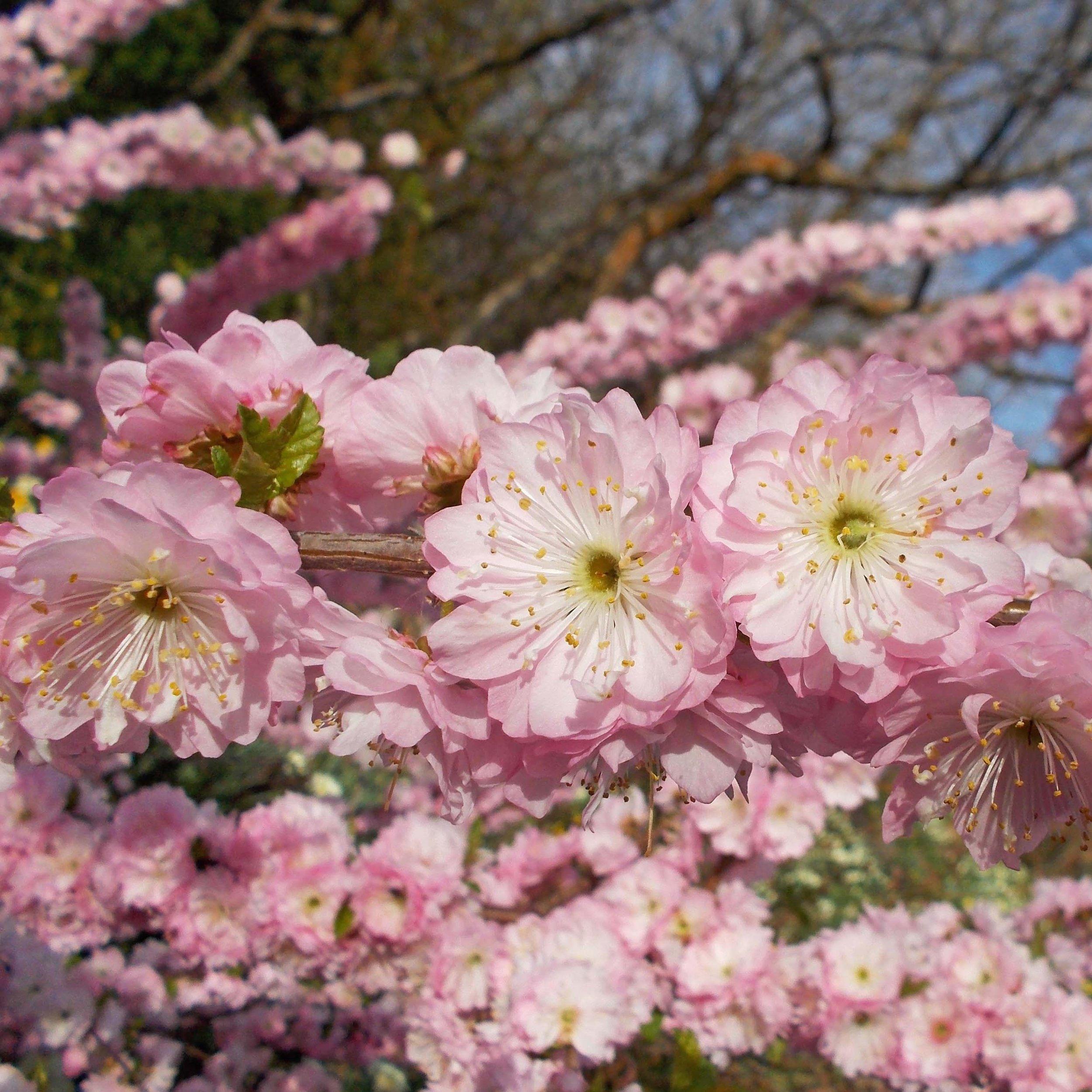 Prunus-triloba-Multiplex-82848-1.jpg