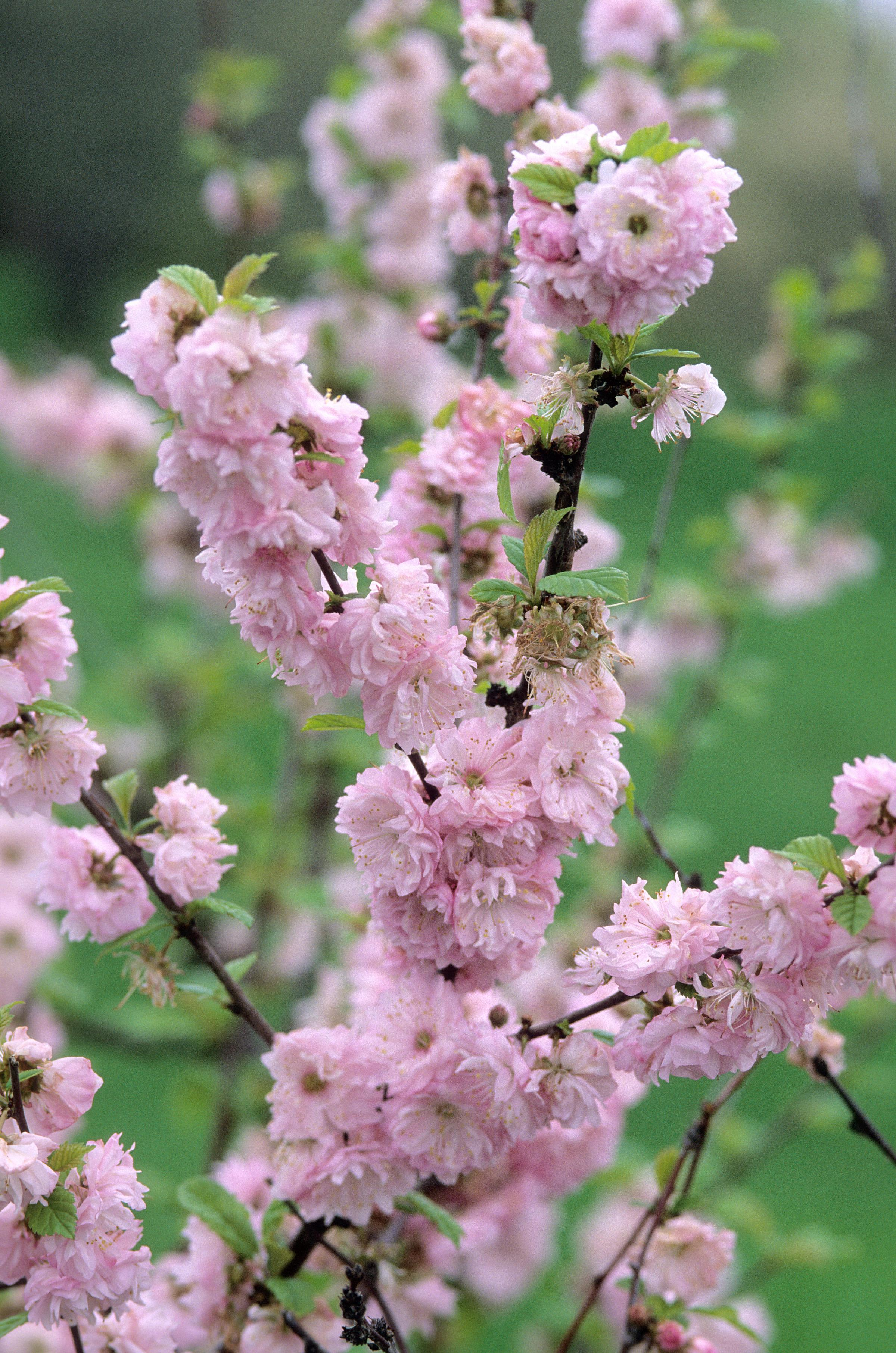 0672-2_PrunustrilobaDblFloweringPlumshrub.jpg.jpg