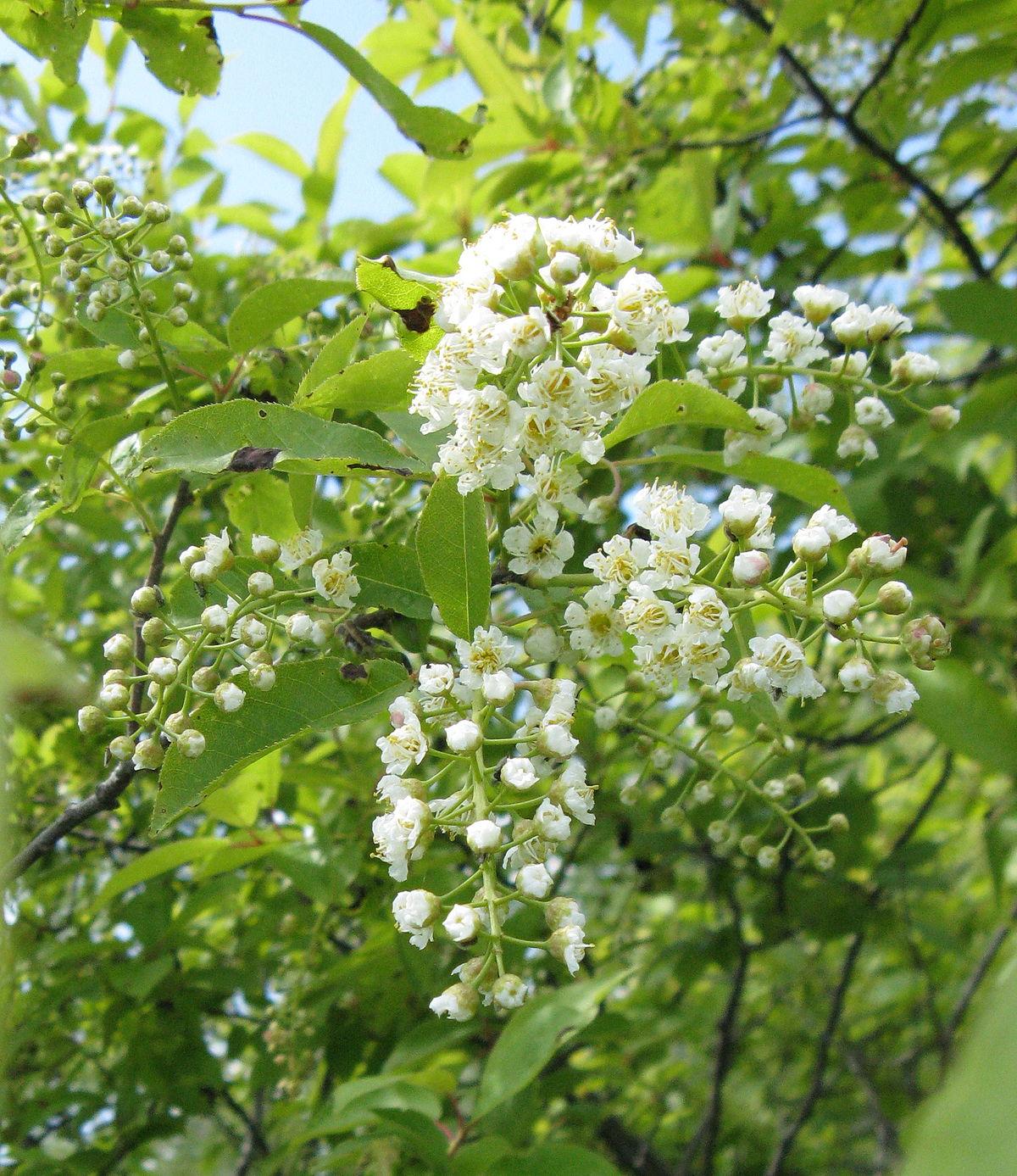 1200px-Prunus_virginiana_flowers.jpg