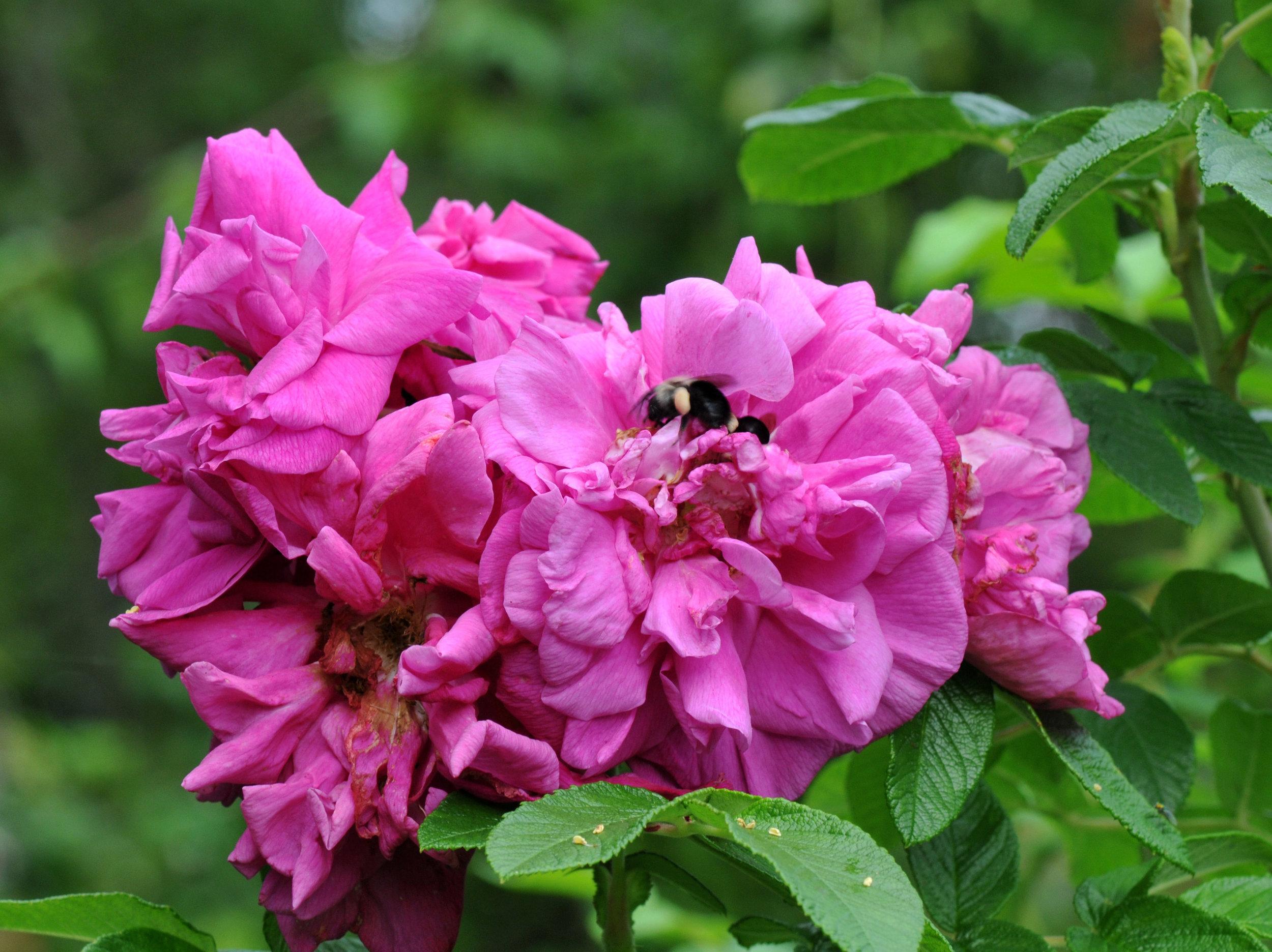 rosa-rugosa-hansa-24-1.jpg