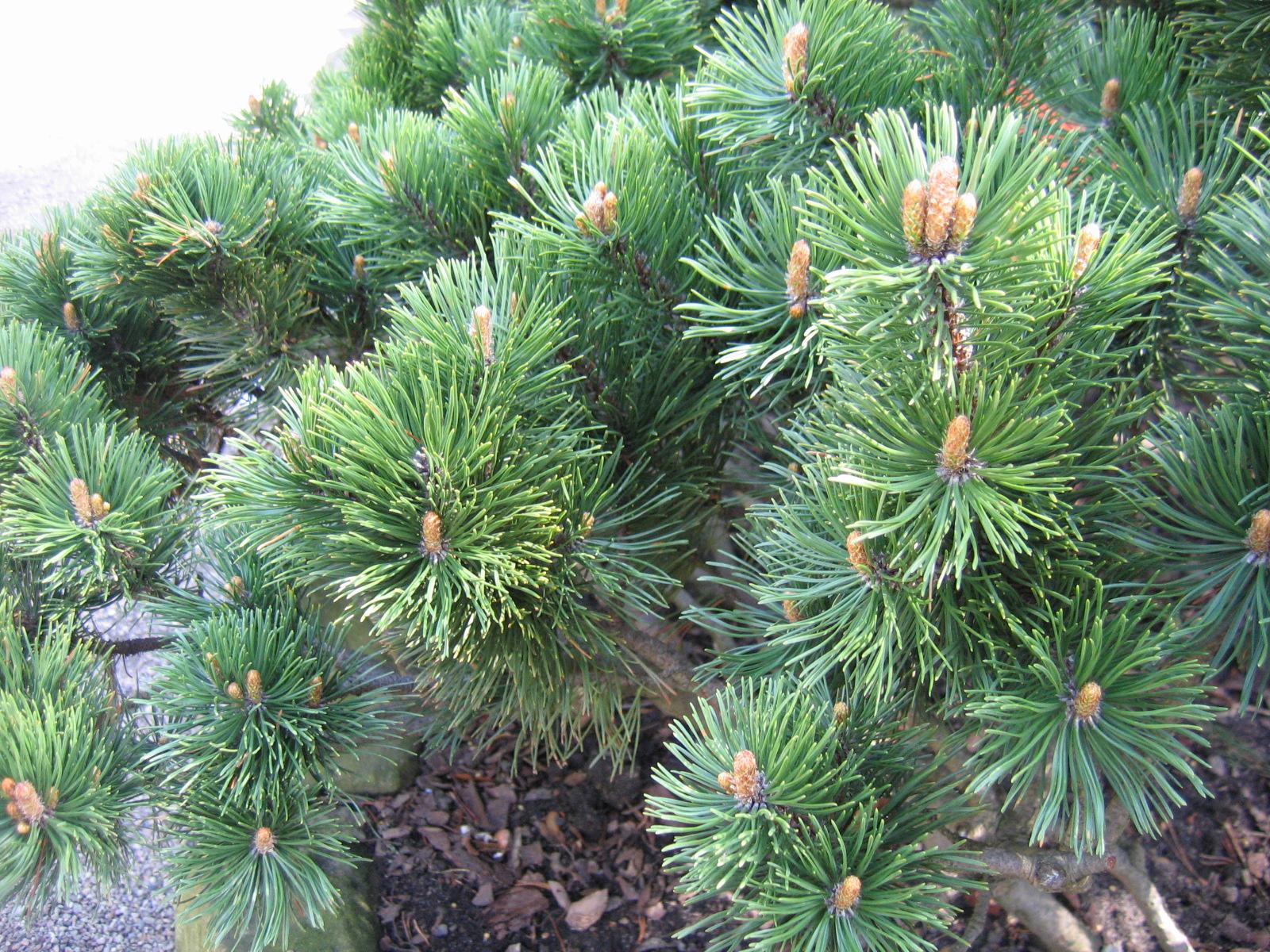 Pinus mugo foliage.jpg