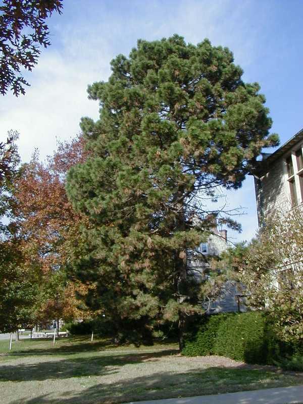 AustrianPine(Pinus nigra)9014_C231-0628050cs.jpg