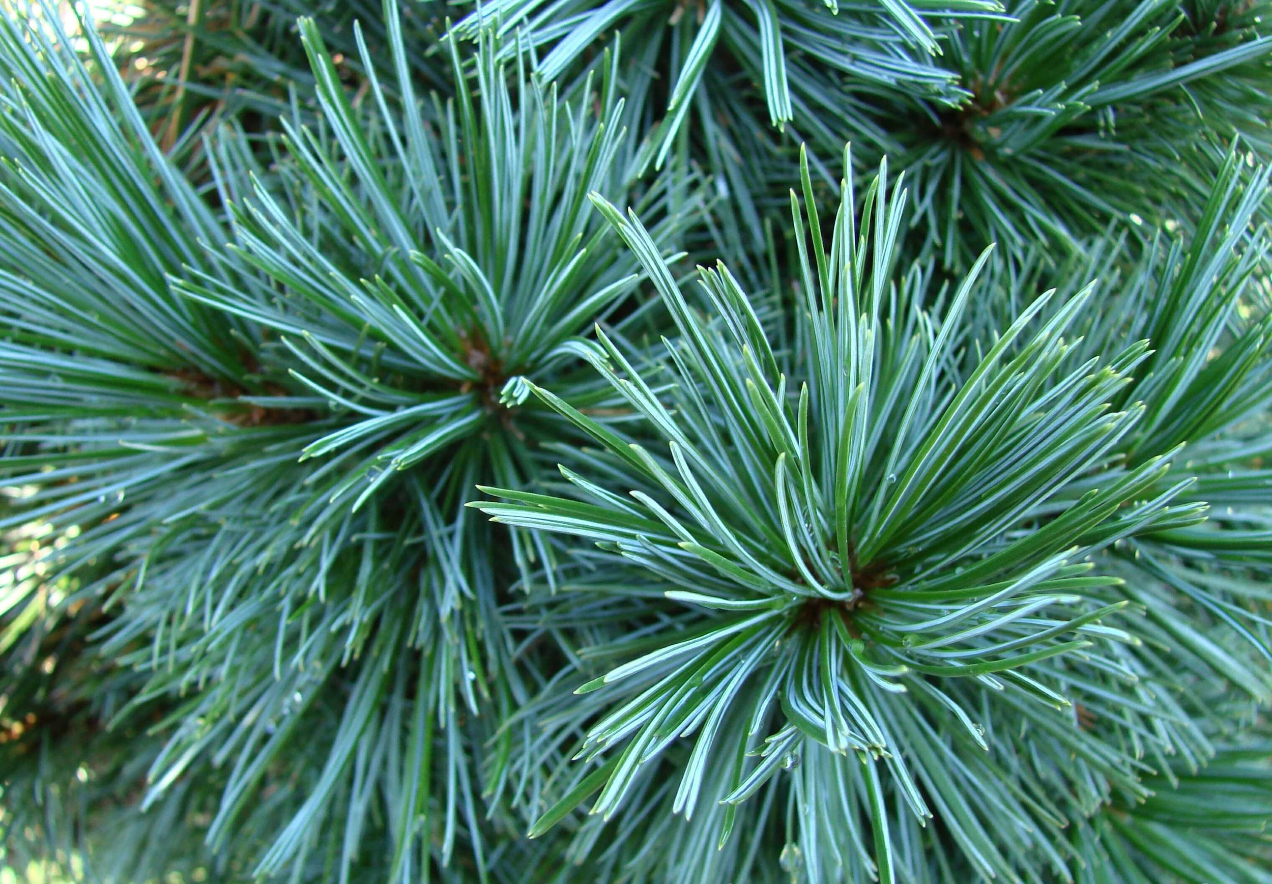 Pinus_flexi_Vanderwolf.jpg