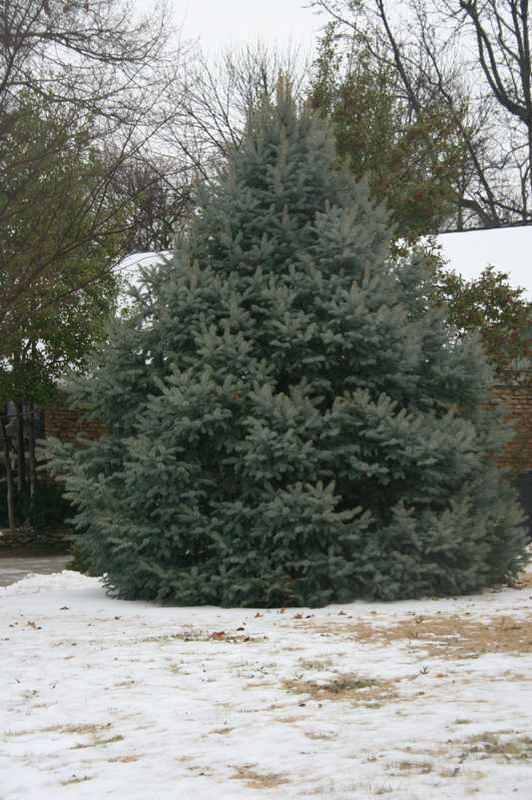 Colorado Spruce (Picea pungens)15991_C226-0222080js.jpg