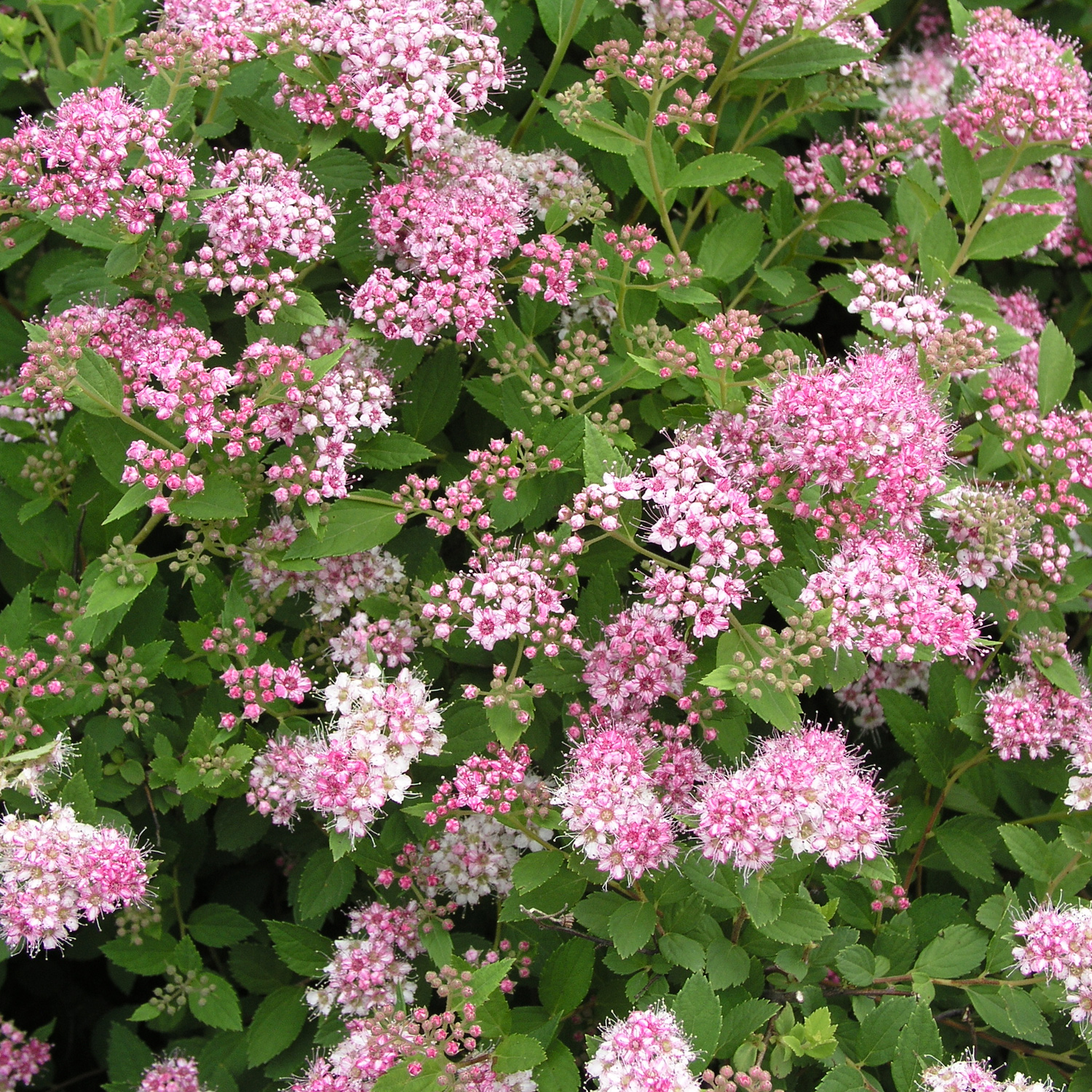 Spiraea-japonica-Little-Princess.jpg