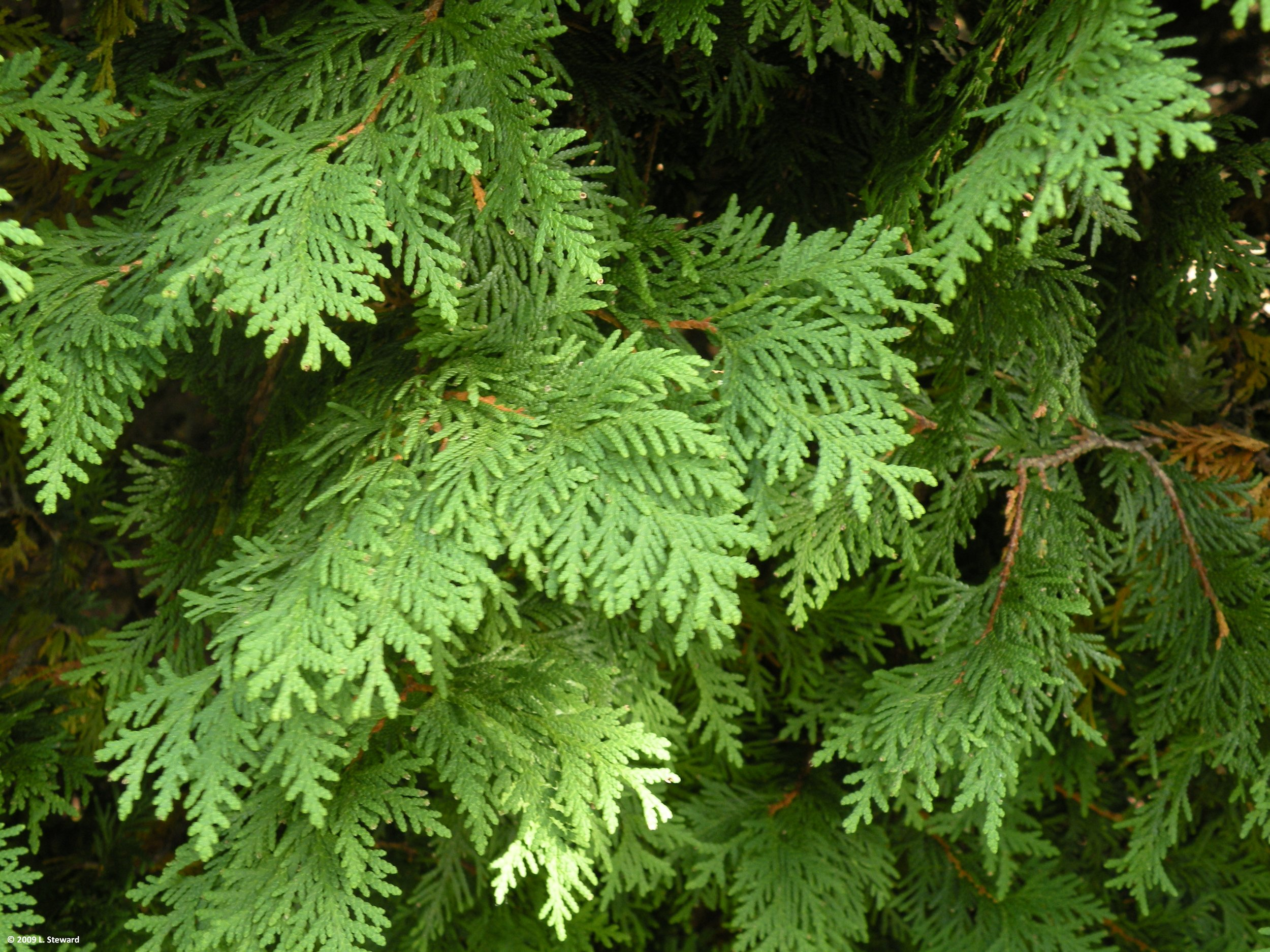 Thuja occidentalis foliage-2.jpg