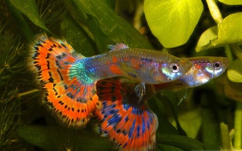 Blue Variegated Delta Guppy.png