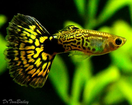 Green Cobra Guppy.jpg