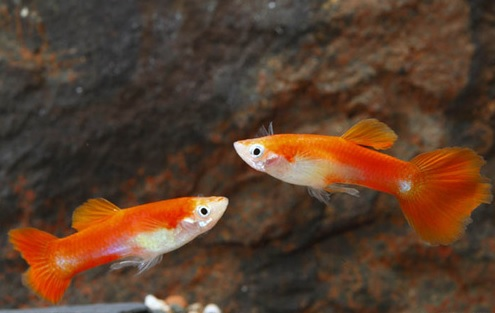 RedBlondeGuppy(Male).jpg