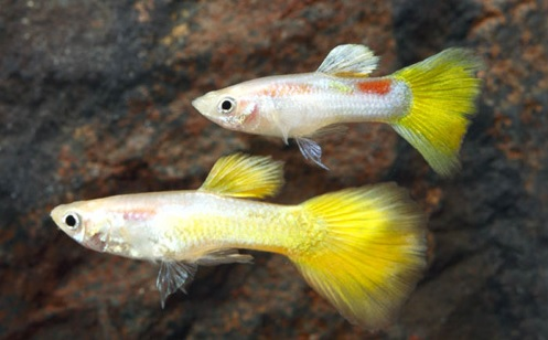 YellowMcariffeGuppy(Male).jpg