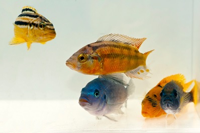 Assorted African Cichlid.jpg