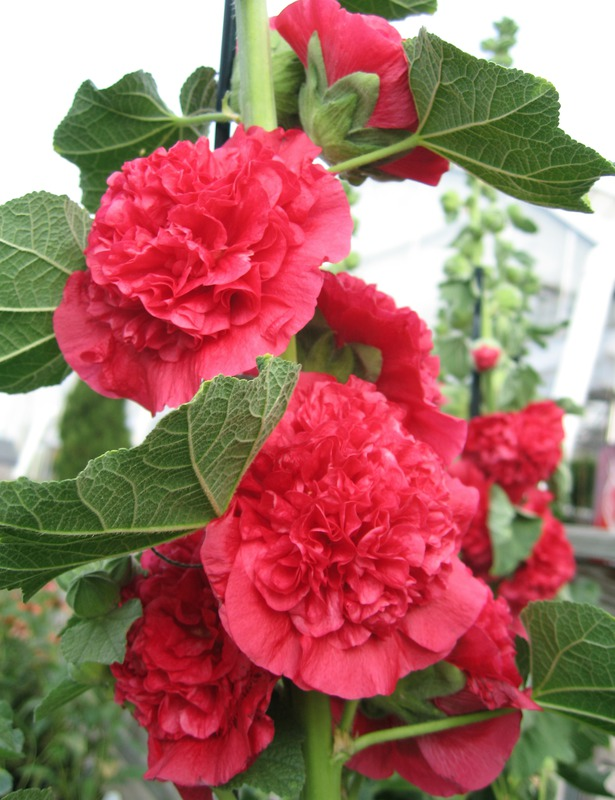 chater's double red - Description:Height: 8ftSpread: 2 ftZone: 3-9