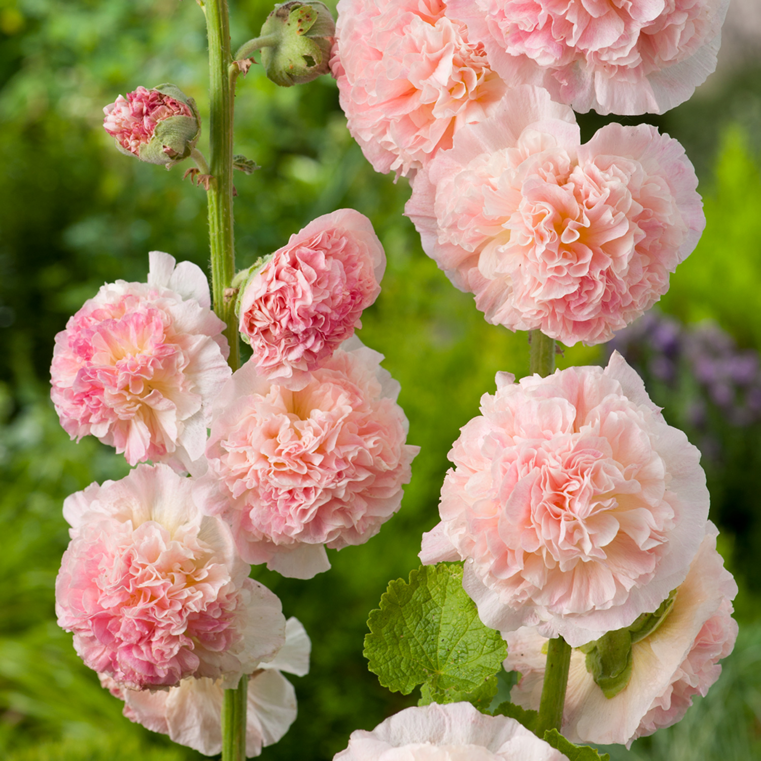 chater's Salmon pink - Description:Height: 8 ft. Spread: 2ft.Zone: 3-9