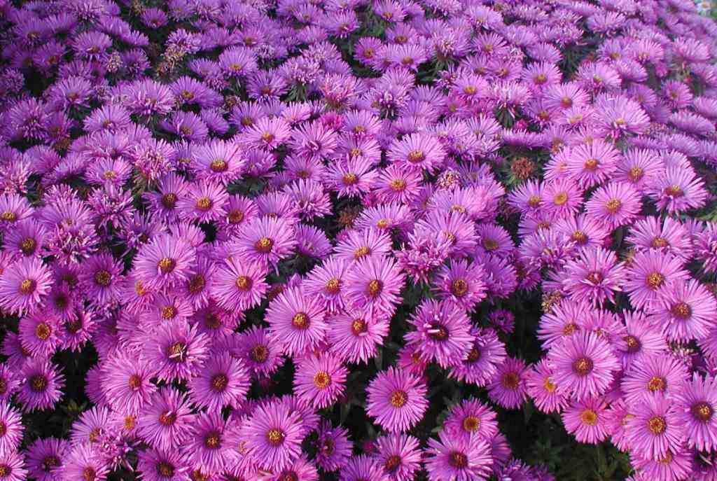 Purple dome aster - Height: 18-24