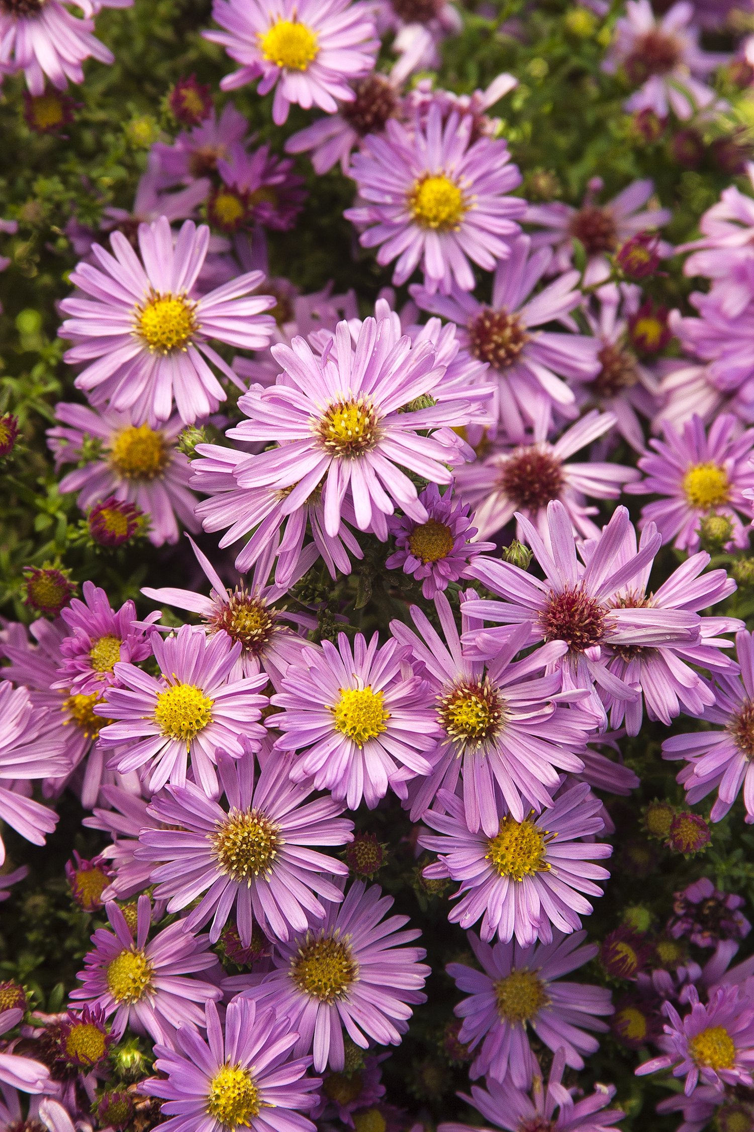 wood's pink aster - Height: 8-12