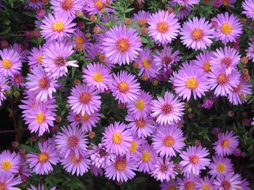 wood's purple aster - Height: 8-12