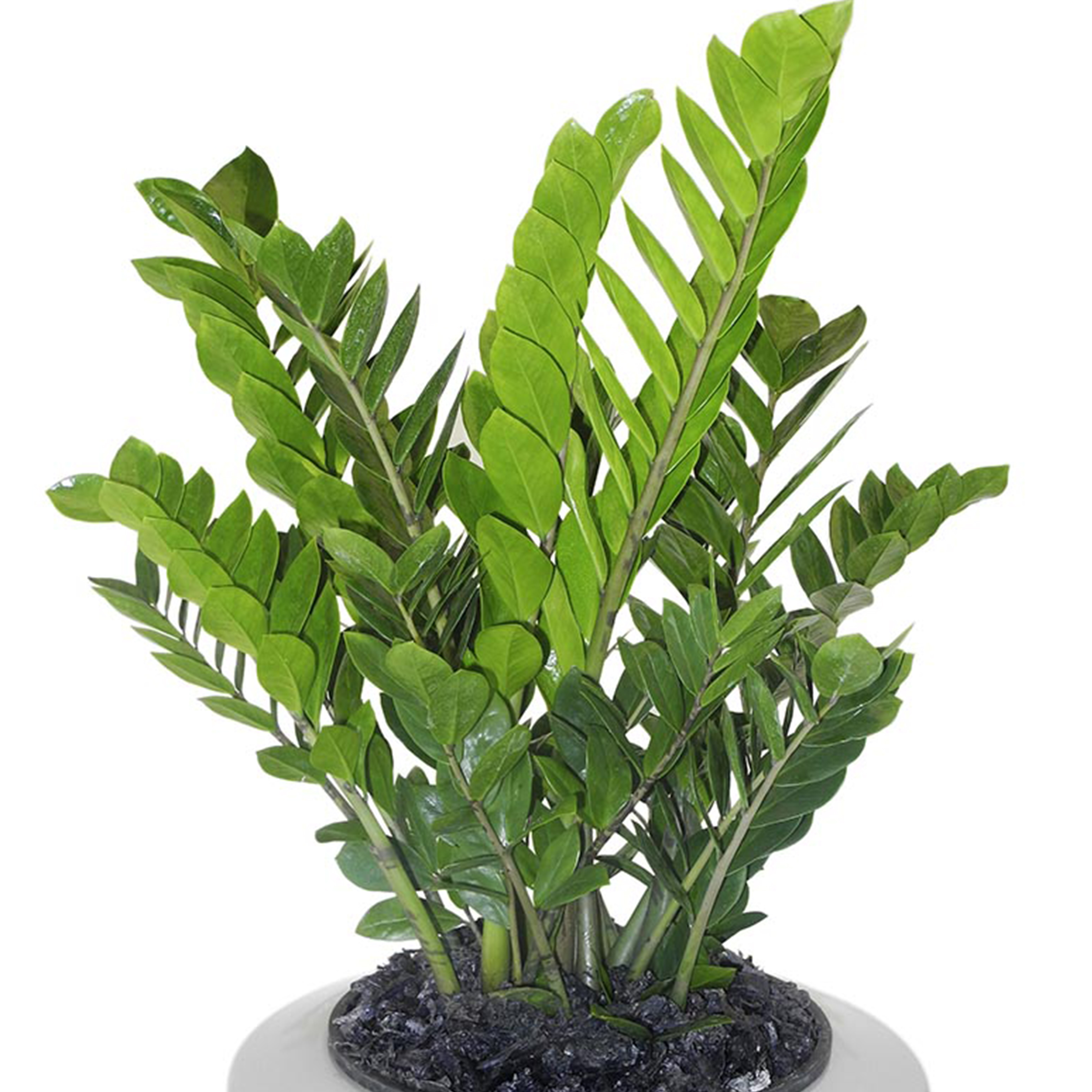 ZZ Plant - ZZ Plants do not like direct light but does like bright light. They grow similarly to trees and palm plants. ZZ Plants like to dry out a little bit before getting more water so allowing the plant to dry down an inch or two is best. ZZ Plants like well draining soil similar to succulent and cactus soil. * Zamioculcas Zamiifolia*Information from House Plants Experts