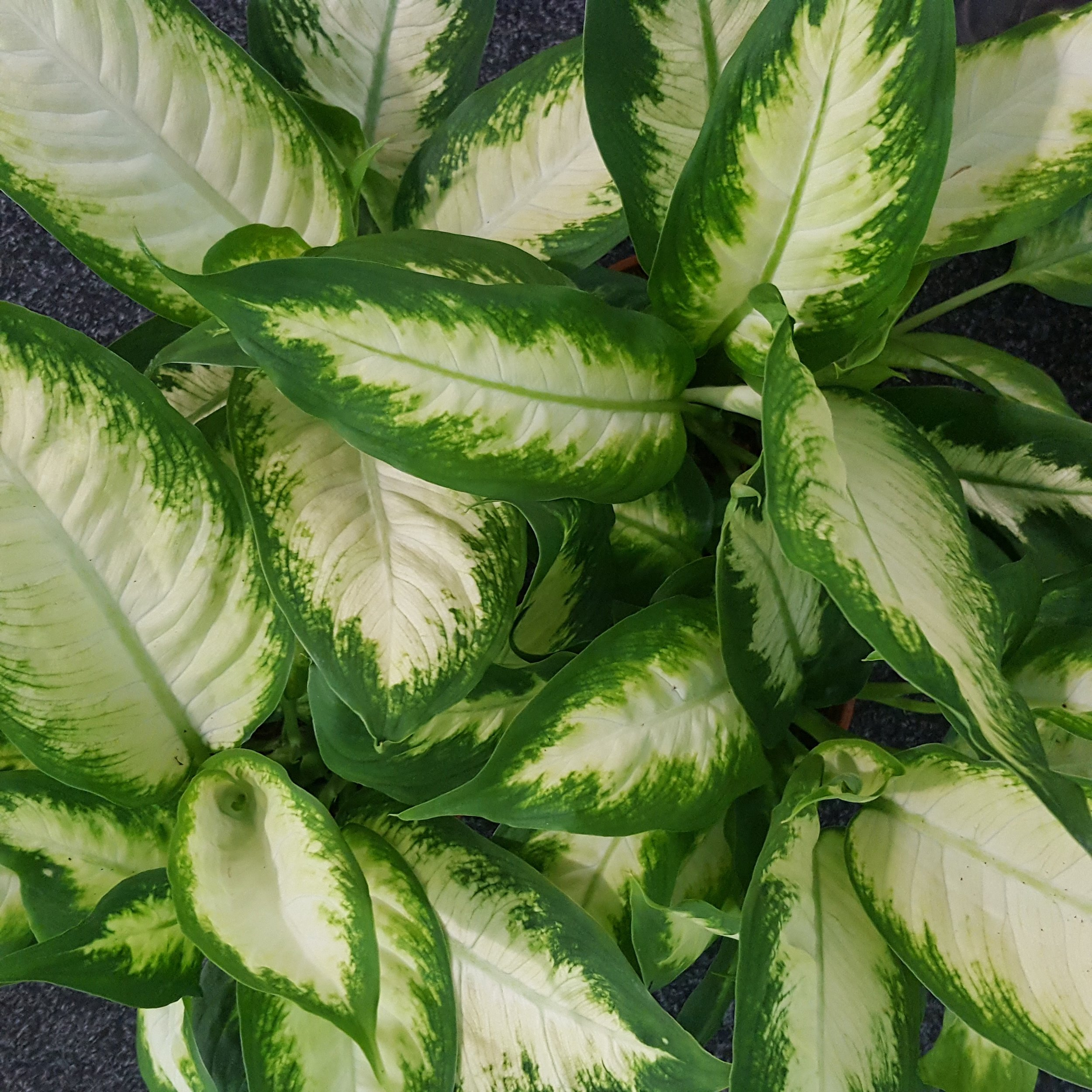 Dieffenbachia / Dumb Cane - Bright light will make a Dieffenbachia bleach out it's leaves to shield and protect itself. This is not a good plant for direct sunlight. If you see water droplets on the leaves, you should wipe these tears away as they can harm the plant. Dieffenbachia like to dry out between watering so do not keep the soil moist. They show browning edges when they are over and under watered. * Information from Our House Plants