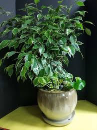 Benjamina - Benjamina is closely related to the Alii ficus; however, it is very fickle and finicky. This is not a ficus for the beginner in the house plant world. Benjamina likes to have consistent watering every ten to fourteen days. In the winter, you can water less frequently. Make sure that the first two to three inches of soil are dry before watering again.*Information taken from Gardening Know How