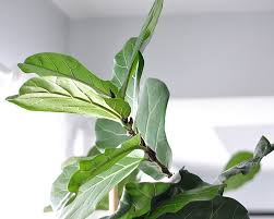 Fiddle Leaf Fig - Fiddle Leaf Fig or Finicky Leaf Fig is a very popular house plant. Fiddle Leaf Figs do not like drafts, too wet soil, too dry soil, too much sun, not enough sun, or dry air. Having a humidifier near by is recommended to help Fiddle Leaf Fig thrive or mist the leaves regularly.*Information taken from Gardenista.com