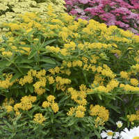 hello yellow butterfly weed - Height: 24