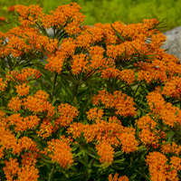 Orange Butterfly Weed - Height: 18-24