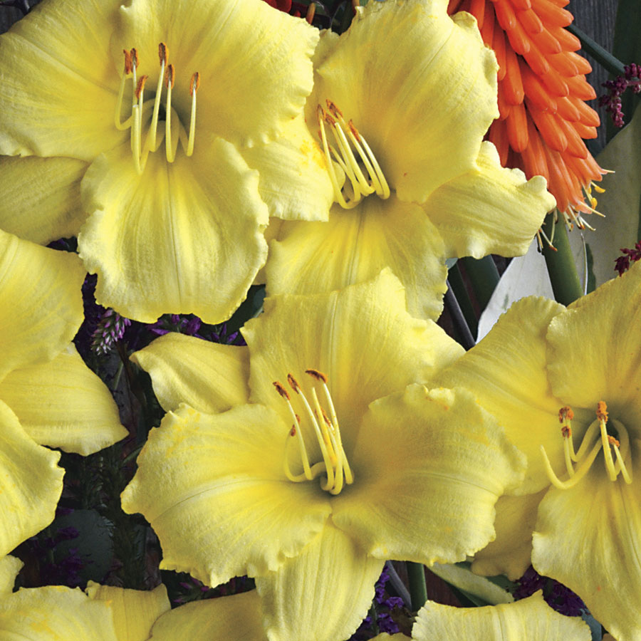 "stella supreme - Bloom color: yellowHeight: 14""Spread: 18"" - 24""Zone: 3-9Has a citrus smell, blooms midsummer and is a re-bloomer."