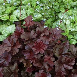 "Obsidian Coral bells - Height: 16-24""Spread: 10-12""Zone: 4-9Sun: Full sun to part shadeObsidian is a dark leaf Coral Bell. Obsidian has maroon, almost black foliage that has a compact habit and will keep its intense color all season long."