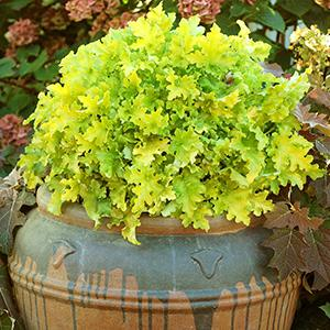 "Lime Marmalade - Height: 10""Spread: 24""Zone: 4-9Sun: Part sun to full shadeThis is a clumping Coral Bells. Lime Marmalade will mound and is good for the front of a garden."