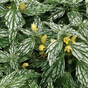 "Yellow ARCHANGEL - Height: 12""Spread: 20""Zone: 3-9Sun: Full shadeHerman's Pride is great for the front of a shady garden. It has green and silver leaves with yellow flowers in early summer."