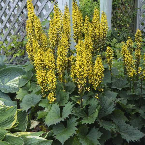 "The Rocket - Height: 28-34""Spread: 24-28""Zone: 4-9Sun: Part shadeThe Rocket blooms midsummer. The Rocket flowers yellow."