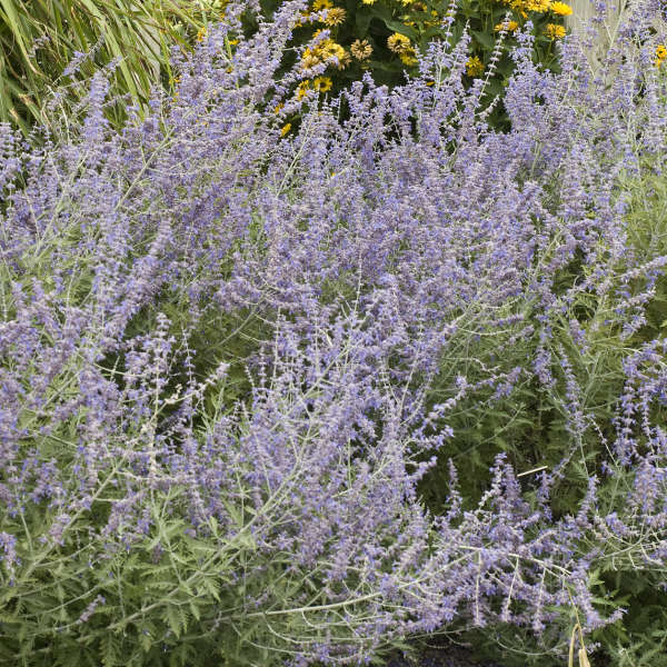 Russian Sage - Height: 3-5'Spread: 3-5'Zone: 4-9Sun: Full sunRussian Sage is shrubby and aromatic. It has grey-green sage with pale blue flowers in late summer through the fall.