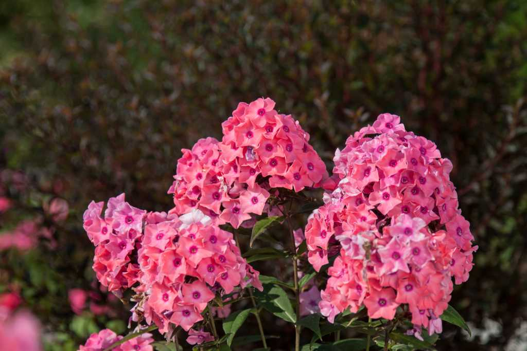 """Coral Creme Drop - Height: 18-22""""Spread: 18-24""""Sun: Full SunZone: 4-8Coral Creme Drop has lovely coral blooms with rosy eyes. Coral Creme Drop is a mildew resistant Phlox. Coral Creme Drop will bring wonderful color and to your summer garden."""