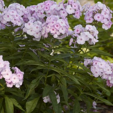 """Cotton Candy - Height: 18-22""""Spread: 18-24""""Sun: Full sunZone: 4-8Cotton Candy has soft lavender-pink flowers with cotton candy centers. Cotton Candy is a mildew resistant Phlox. Cotton Candy will bring great color and fragrance to your summer garden."""