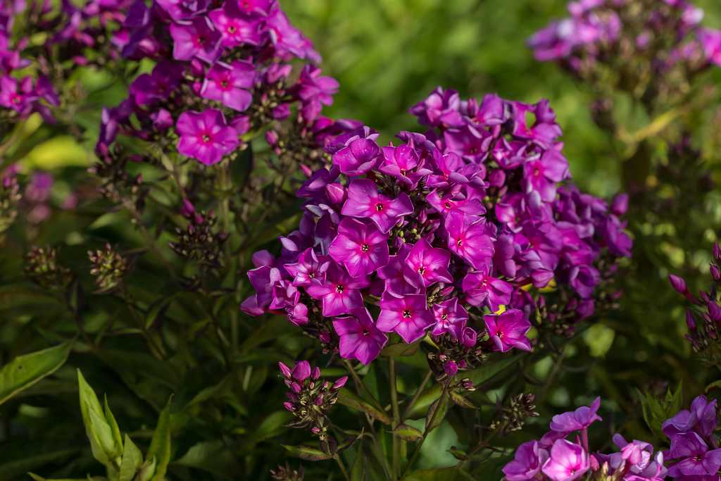 """Grape Lollipop - Height: 18-22""""Spread: 18-24""""Sun: Full SunZone: 4-8Grape Lollipop has grape colored blooms with striking red eyes. Grape Lollipop is a mildew resistant Phlox. Grape Lollipop brings great color and fragrance to your summer garden."""