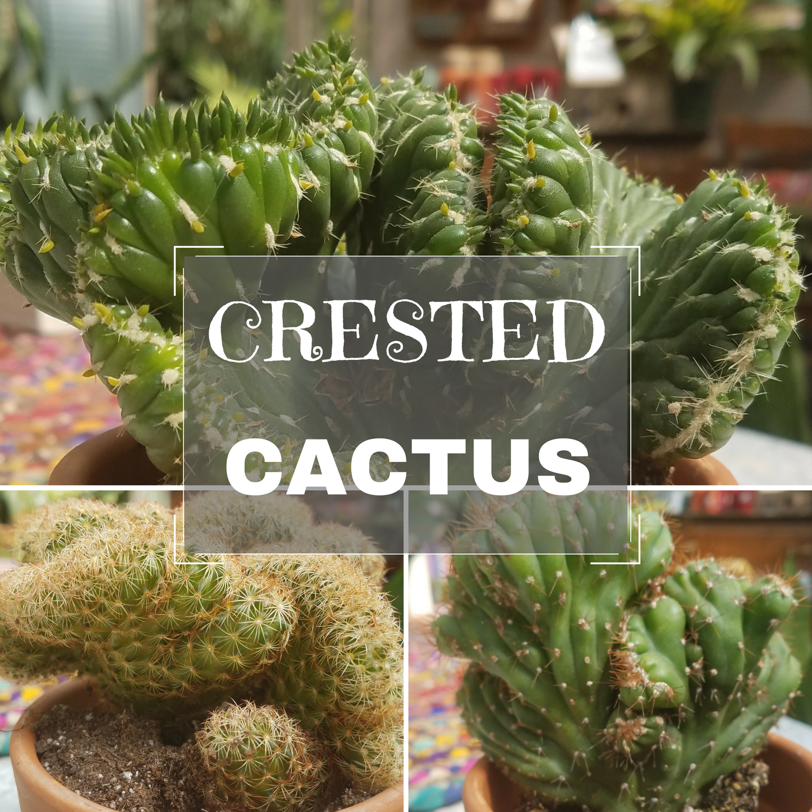 Crested Cactus.png