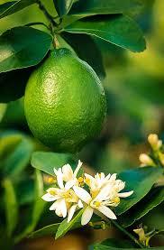 Lime -
