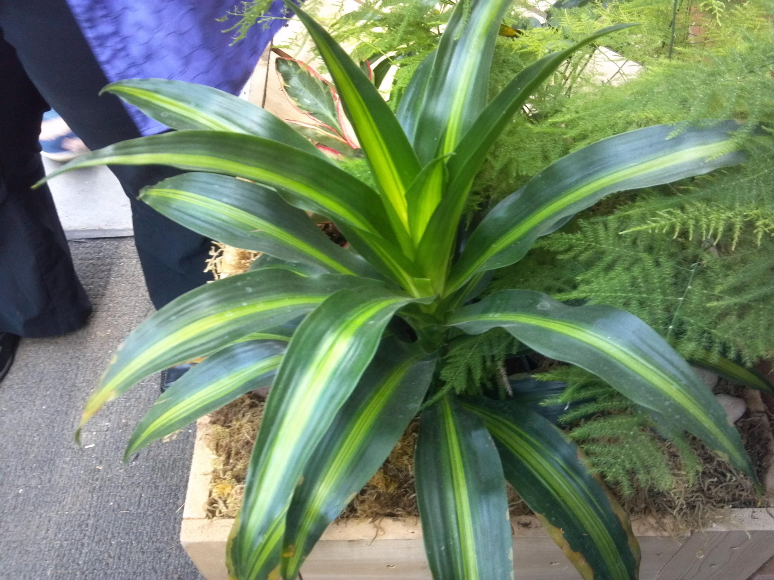 rIKKI - Rikki has highlighted yellow bands down the middle of its leaves. Rikki does not need to be watered until the top two to three inches of soil are dry. They are also fine in any light.