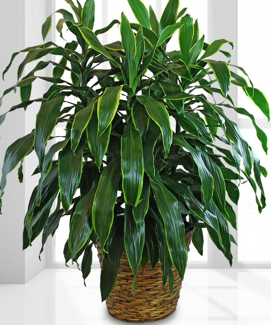 Janet Craig - Janet Craig has long leaves that taper. This plant does fine with lower light. Janet Craig likes to be kept on the dry side. This plant should be watered fully and thoroughly and any excess water should be removed from the base, saucer, or pot cover.