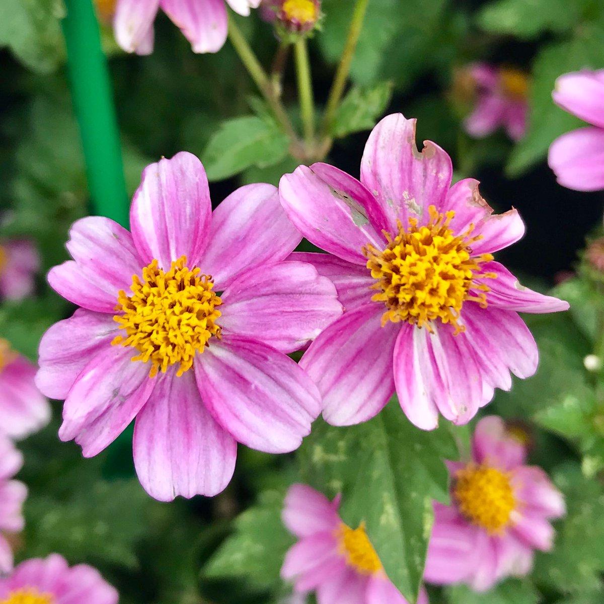 pretty in pink - Spread: 12-18