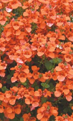 orange - Spread: 10-12