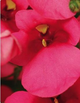 rose - Spread: 10-12